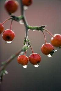 How to use crabapples