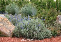 Mexican Blue Sage - Monrovia - Mexican Blue Sage