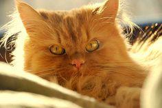 Características físicas e temperamento do gato persa. Saúde, alimentação e cuidados.