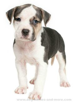 Our top list of Pit Bull names are ideas chosen just for this unique breed. Find cool male and female Pitbull dog names by theme and color too. Pitbull Dog Names, Pitbull Facts, Puppy Names, I Love Dogs, Cute Dogs, Dog Names Unique, Girl Dog Names, Socializing Dogs, Dog Cat