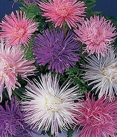 firework aster These perennial flowers grow well in average soils, but needs full sun. Aster flowers come in blues, purples and a variety of pinks. All Asters are yellow in the center of the flower. They are daisy-like in appearance, even though they are a member of the sunflower family.