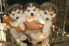 Funny pictures about An armful of husky puppies. Oh, and cool pics about An armful of husky puppies. Also, An armful of husky puppies photos. Puppy Husky, Cute Husky, Cute Puppies, Cute Dogs, Dogs And Puppies, Chubby Puppies, Doggies, Chubby Babies, Baby Dogs