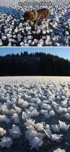 Ice flowers in Finland...