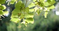 12 gute Gründe, weshalb du die Lindenblüte auf keinen Fall verpassen solltest