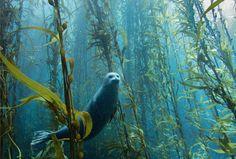Una foca común curiosea entre un bosque de kelp cerca de la costa de California.