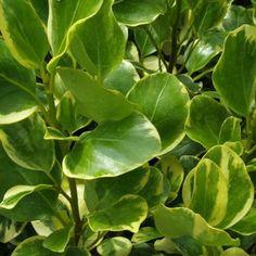 Griselinia littoralis (New Zealand Broadleaf)