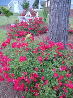 (flower carpet roses - better than knock out.) My experience with these is they can withstand the driest shade and live. In fact, I have seen them callously mowed to the ground and return with no problem. - Gardening For Life Garden Trees, Lawn And Garden, Garden Plants, Flowering Plants, Outdoor Landscaping, Outdoor Gardens, Beautiful Gardens, Beautiful Flowers, Ronsard Rose