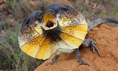 The frilled lizard isn't dangerous, the hiss is just a bluff.