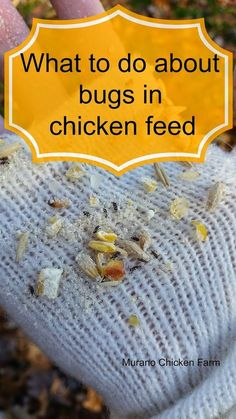 What to do when you find bugs in the chicken feed