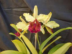 JC Orquideas: Cattleya dowiana (Aurea)