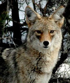 wild New Mexico coyote looking by newmexicomtngirl