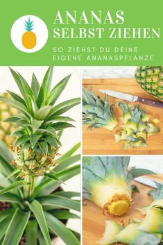 Urban Gardening: Ananas selber ziehen Tropical Feeling für Zuhause Ananas sel… Urban Gardening: Pineapple Pulling Tropical Feeling for Home Pineapple Pulling Your Own Pineapple Plant (Instructions) Garden Care, Tropical, Planting Succulents, Garden Plants, Pineapple Planting, Diy Garden Projects, Plantation, Hanging Plants, Amazing Gardens