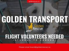 FLIGHT VOLUNTEERS NEEDED. We are looking for Flight Volunteers to help with transporting rescued Golden Retrievers from Istanbul to Canada. If you happen to be travelling to Istanbul and are willing to bring Goldens back to Canada with you on your return-flight, we would be very grateful. We will pay for the additional baggage/cargo fees for the Goldens. If you're interested and would like more information, please email board@goldenrescue.ca #volunteer #rescuedog #adoptdontshop… Volunteers Needed, Istanbul Travel, O Canada, Very Grateful, Rescue Dogs, Golden Retrievers, The Fosters, Transportation, Shit Happens