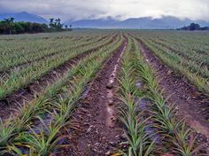 What Do Pineapples Grow On | Pineapples Grow On Trees - reviews and photos.