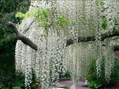 my favorite...white wisteria