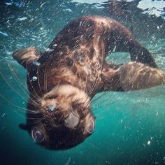 Swim with the seals at Duiker Island, Hout Bay, Cape Town http://aviva-sa.com/learn-about-cape-town.php