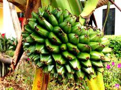 Pandanus utilis, or screw pine. This is  female fruit pod.