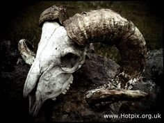 Ram's Skull with Horns...I love these, so dark and other worldly
