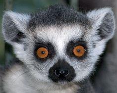 Фотография Lemur III автор Christina Skov на 500px