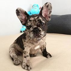 First week ❤ #frenchbulldog #frenchielove #frenchieoftheday #frenchie #dog #puppy #goodmorning #potd #bully #französischebulldogge #french #bulldog #frenchiesofinstagram #baby #leavis #merle #cocomerle #coco #frenchbulldogpuppy #frenchiesofinstagram #dogsofinstagram #frenchbulldogs #frenchbulldogmoments #frenchiephotos #leavisthefrenchie #frenchielove_feature #bullyinstafeature #bullyinstagram #daily_frenchie #thefrenchiepost #LOVEABULLY