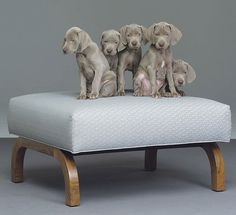 william wegman of coarse! William Wegman, Designer Dog Beds, Designer Dog Collars, Weimaraner Puppies, Dogs And Puppies, Doggies, Beautiful Dogs, Animals Beautiful, I Love Dogs