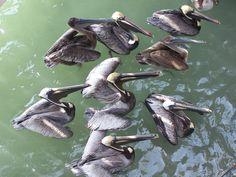 Pelicans awaiting food at John's Pass