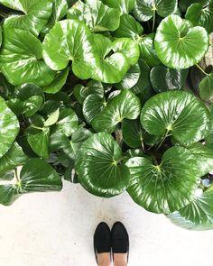 farfugium japonicum ~ tractor seat plant