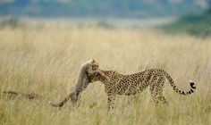 A female cheetah and her cub. The images in the 2012 National Geographic Photo Contest Photo Credit: Sanjeev Bhor/National Geographic Photo Contest Photographie National Geographic, National Geographic Photography, Photography Competitions, Photography Contests, Nature Photography, Photography Wallpapers, Landscape Photography, Travel Photography, National Geographic Photo Contest