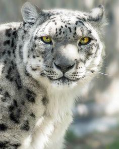 Snow Leopard - Photograph at BetterPhoto.com-- Pretty!