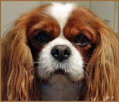 Pretty Bleinhem Cavalier King Charles Dog, King Charles Spaniel, Beautiful Dogs, Animals Beautiful, Cutest Dog Ever, Best Dog Breeds, Spaniel Dog, Pictures To Paint, Dog Life