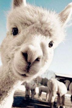 Cute animals for wallpaper Cute Little Animals, Cute Funny Animals, Funny Cute, Images Lama, Beautiful Creatures, Animals Beautiful, Pastell Wallpaper, Cute Alpaca, Cute Fox