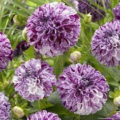 Purple & lollipop-shaped, 'Marble Ball' is a double-flowering Ball Dahlia that delights with petals that curiously curve and spiral inward. Magnificent, variegated petals of white and purple make it the perfect choice for the long-season garden. Indoor Flowers, Bulb Flowers, Dahlia Flowers, Peony Root, Marble Ball, Overwintering, Exotic Plants, Purple Plants, Purple Garden