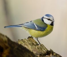 blue tit - never flying too far from home. Good fortune. Guardian of souls