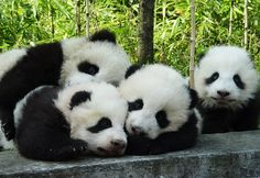 Myth Buster Monday: Giant pandas sleep alot! Not true. They only sleep about 4 hours a day, less than the other 7 bear species. Giant pandas live almost exclusively on bamboo. Unfortunately, bamboo is not that nutritious. So pandas must spend as much time as they can tearing down and eating bamboo thickets, leaving little time for napping. Who knew?
