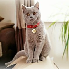 """Meet """"Lady"""" Annabelle from Liverpool, she is a 6 month old Lilac British Shorthair with cuddly, loving and affectionate nature.  Annabelle's favorite toys are coctail straws (the more the better), an owl hand puppet and her Cheshire & Wain's collar pouch! She is very talkative, she knows what she wants and is happily presenting her requirements to her humans 24/7.  She is also incredibly smart, having learnt to sit, give paw, sit up, give high-five, roll over and give a kiss on command for…"""