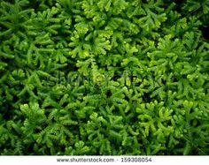 Green moss,Grass Background - stock photo