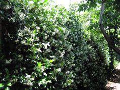 Does anything smell more amazing than a fence covered in star jasmine on a summer evening?