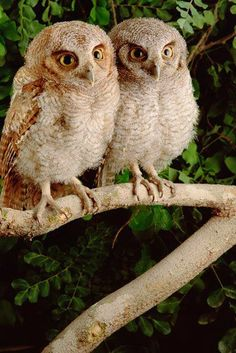 A gorgeous pair of Tropical Screech Owl juveniles from Caatinga, Brazil, photo by Claus Meyer.