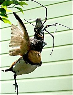 Golden orb weavers have toxic webs   Anguished Repose, nightmares for life, thank you.