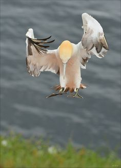 Concentration by Elmar Weiss (Northern Gannet) coming in to land to have his dinner / what a GANNET he is , gulps down a large meal too quickly