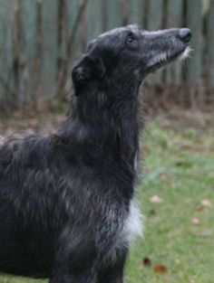 """The Scottish Deerhound's antecedents have existed back to a time before recorded history. They would have been kept by the Scots and Picts and used to help in providing part of their diet--mainly hoofed game. They were bred to hunt red deer by """"coursing"""" and """"stalking."""""""