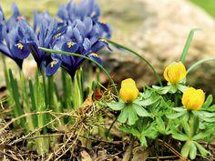 Winterlinge in kahle Frühlingsgärten - Blatt & Blüte - Mein Garten - gartenflora.de