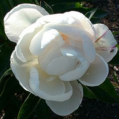 """Gardenia"" peony. Can't believe how much it looks like a gardenia!"