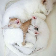 .White momma cat with babies. #cat #feline #kittens Good Night, Nighty Night