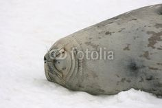 Weddell seal in Antarctica - Buy this stock photo and explore similar images at Adobe Stock Antarctica, Mammals, Seal, Wildlife, Ice, Cold, Stock Photos, Animal, Animaux