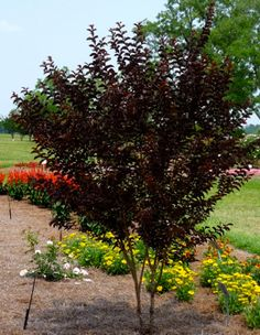 Landscaping on pinterest shrub low maintenance - Decorative trees with red leaves amazing contrasts ...