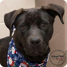 I am at a kill shelter in Troy, OH - Labrador Retriever Mix. Meet Bernie, a dog for adoption. http://www.adoptapet.com/pet/14563243-troy-ohio-labrador-retriever-mix