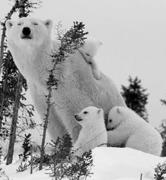Polar Bear Family~♛