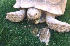 Fast friends: Tortoise becomes guardian of wandering baby bunny - http://cringeynews.com/uncategorized/9021488226202/