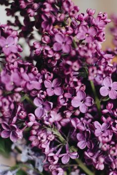 How To Grow a Lilac Bush for Beautiful Blooms in the Spring - Natalie Linda Growing Lavender, Bloom, Lilac Bushes, Plants, Lilac, Fragrant Garden, Smelling Flowers, Fragrant Flowers, Best Smelling Flowers